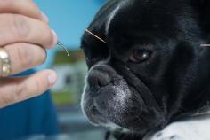 Vétérinaire acupuncture Gauthier